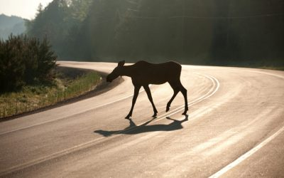 SPLIT SECOND DECISIONS – ANIMALS IN THE ROAD